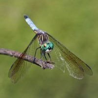 Dragonfly Bio Blitz at Ocmulgee