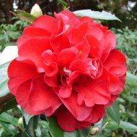 Middle Georgia Camellia Society Byron Show